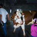 vystava-krav-klesnil